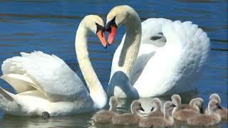 """Берегиня: Лебединые практики.  Активация 3 """"Лебёдушка, Лебедь и детки"""" (только для женщин)"""